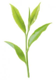 茶葉のリアルなイラスト
